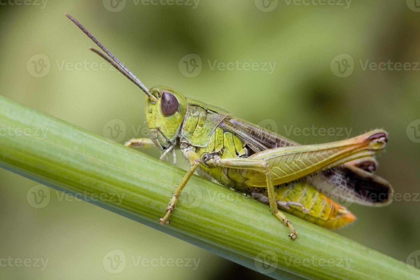 close up van een sprinkhaan op een plant foto