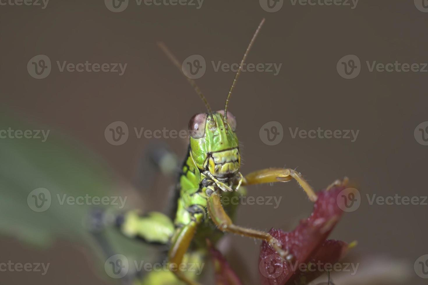 dieren - cricket foto