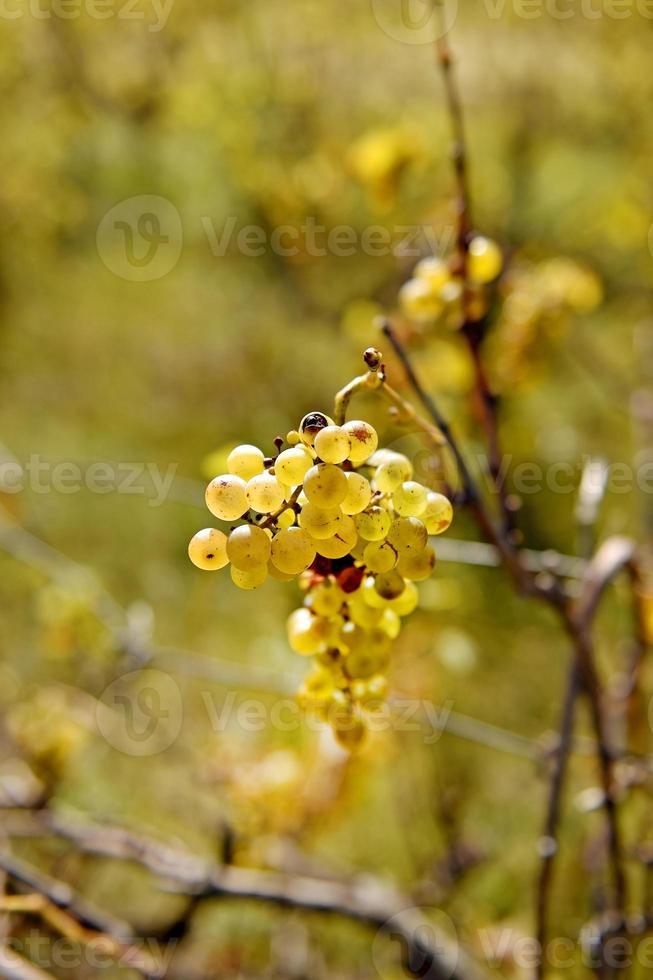 wijnstok in de late herfst foto