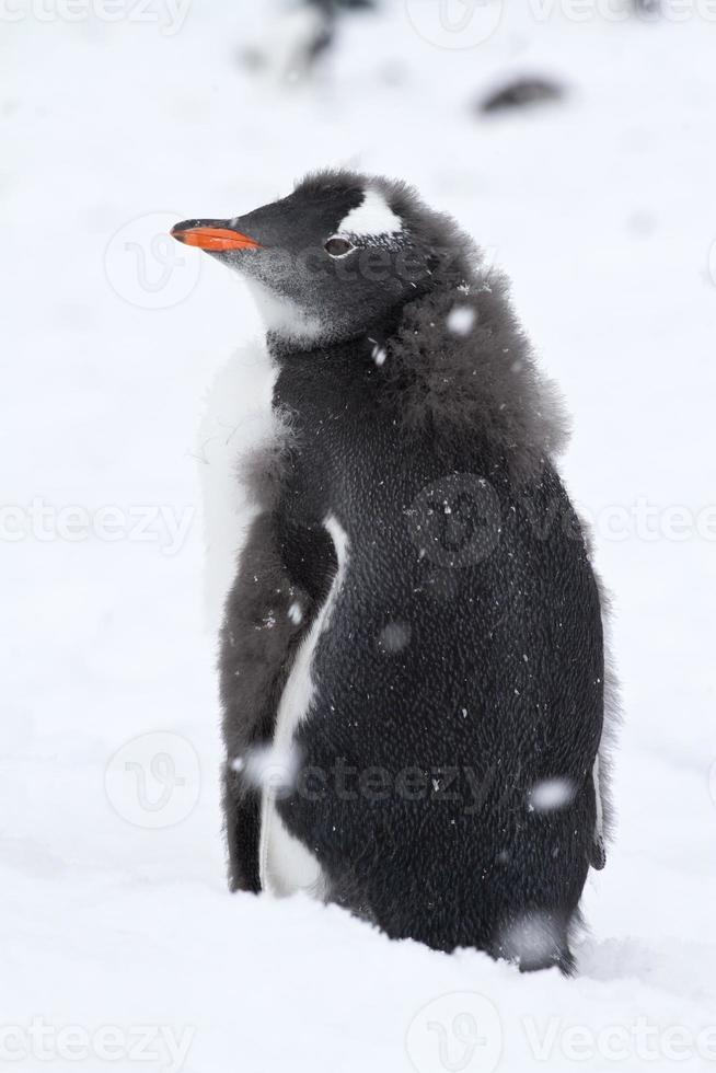 bijna ruiende gentoo pinguïnkuiken met de restanten van pluis foto