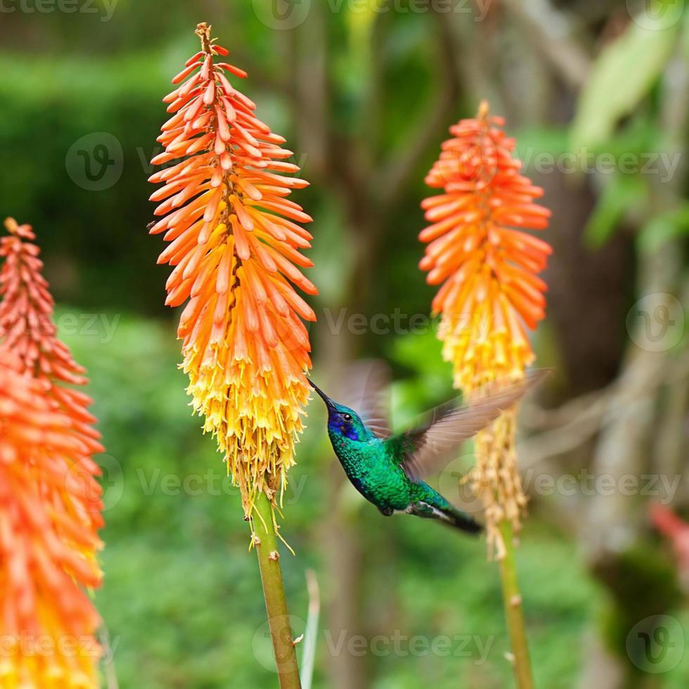 prachtige blauwgroene kolibrie vliegen foto