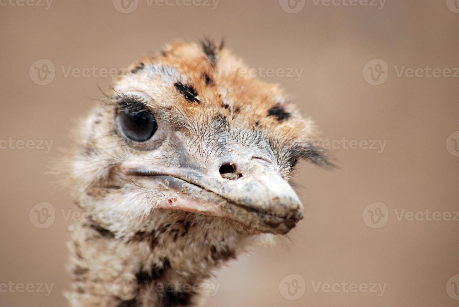 struisvogel baby foto