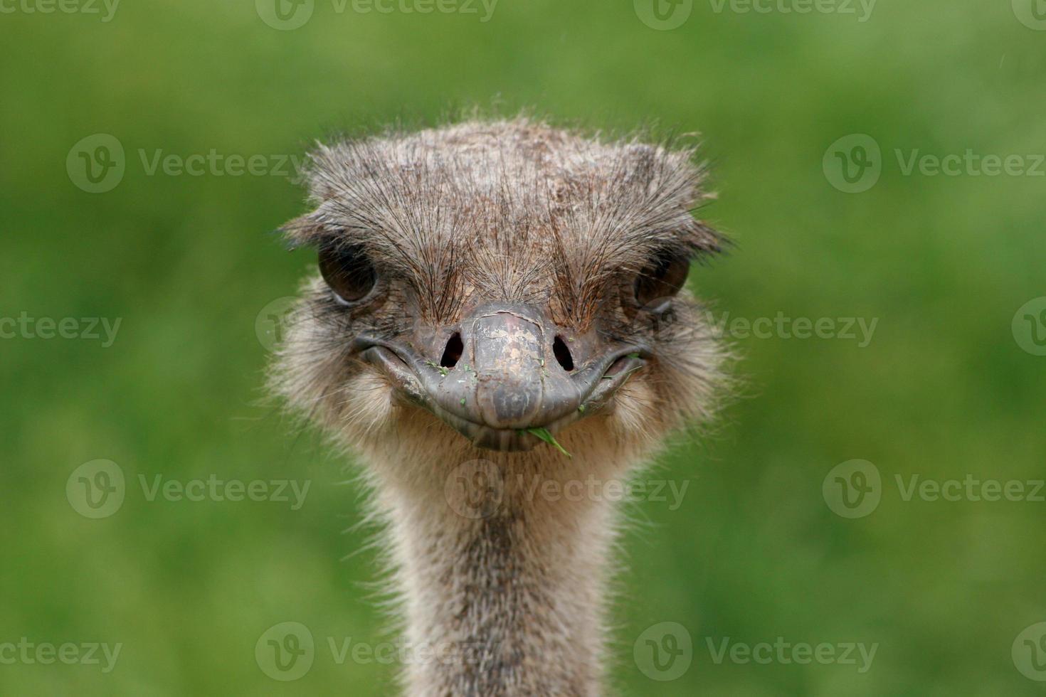 lachende struisvogel foto