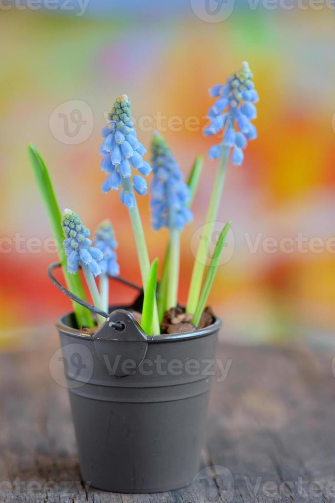muscari botryoides bloemen foto