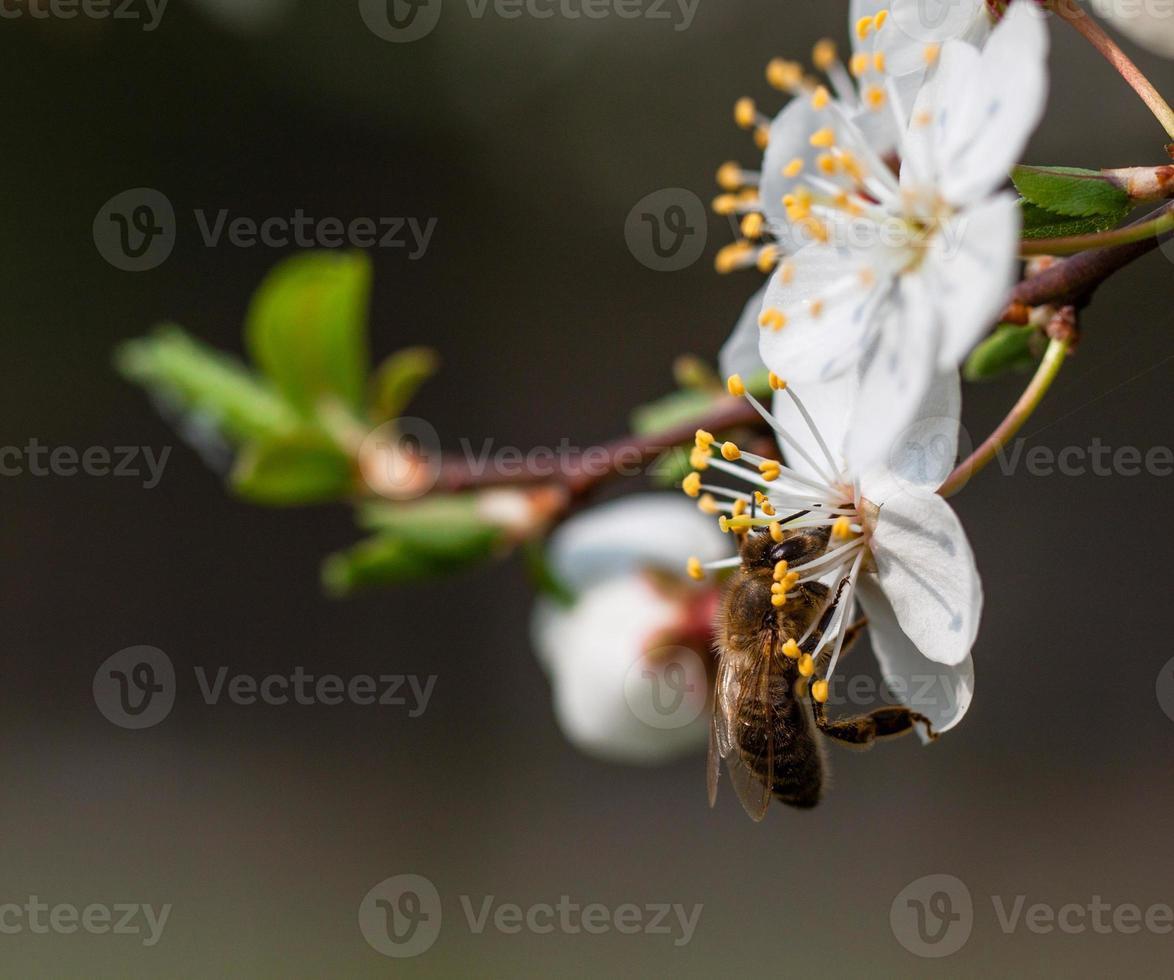 bijen verzamelen stuifmeel. foto