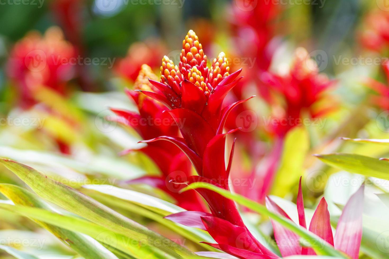 ananas bloemkleur foto