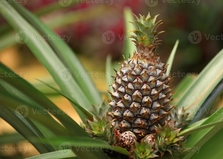 ananas fruit en planten foto