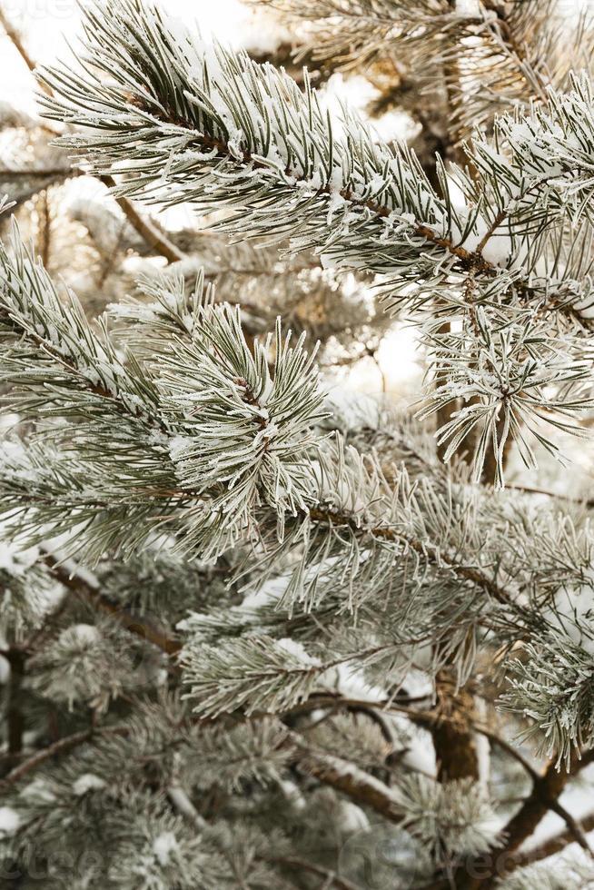 dennenboom in de winter foto