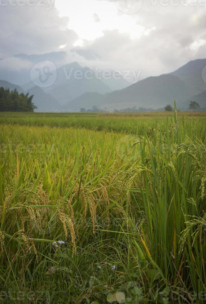rijst veld op het oogstseizoen in Tu le Town foto