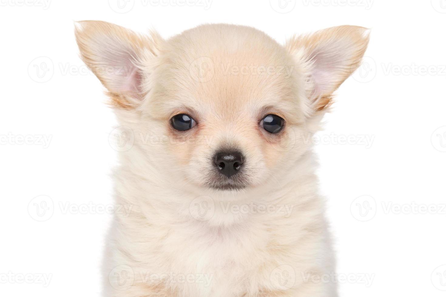 langharige chihuahua puppy foto