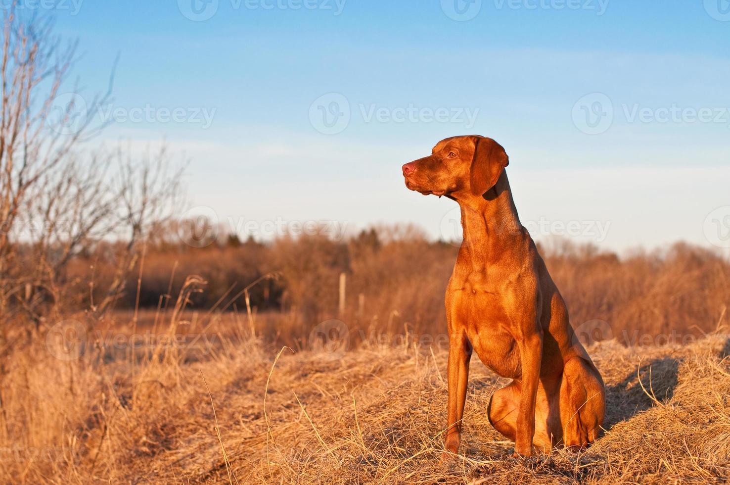 portret van een zittende vizsla hond in het voorjaar foto