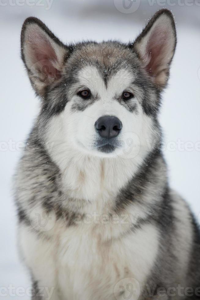 Alaskan malamute puppy foto
