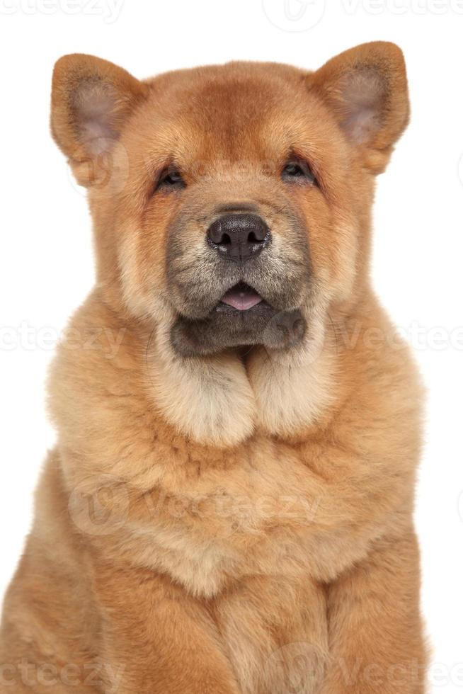 chow-chow puppy close-up portret foto