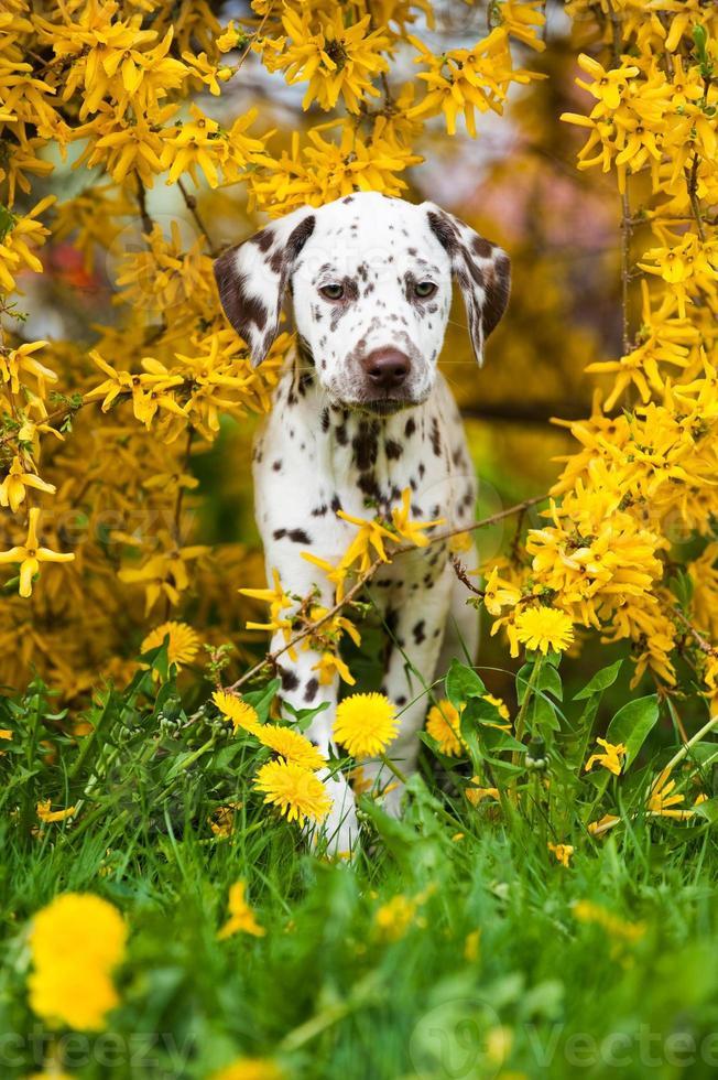 Dalmatische pup foto