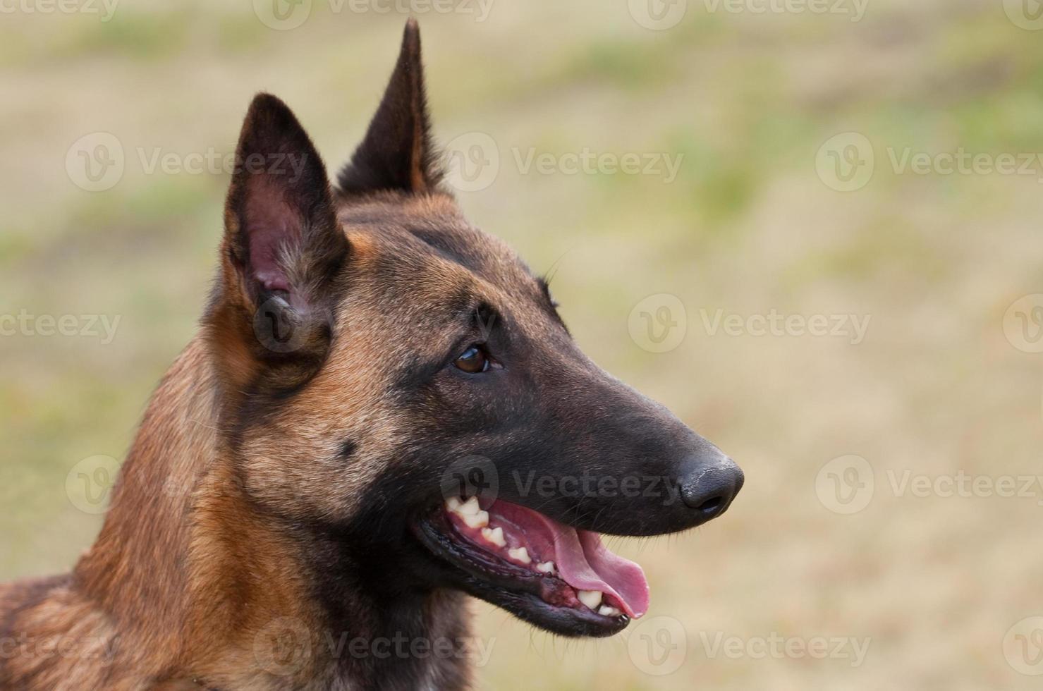Belgische herder foto