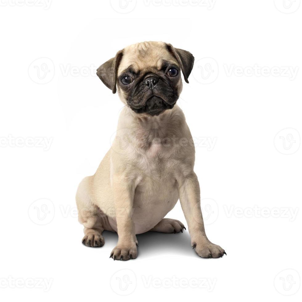 pug puppy hondje foto