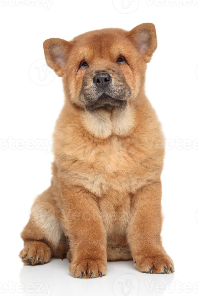 bruin chow-chow puppy foto