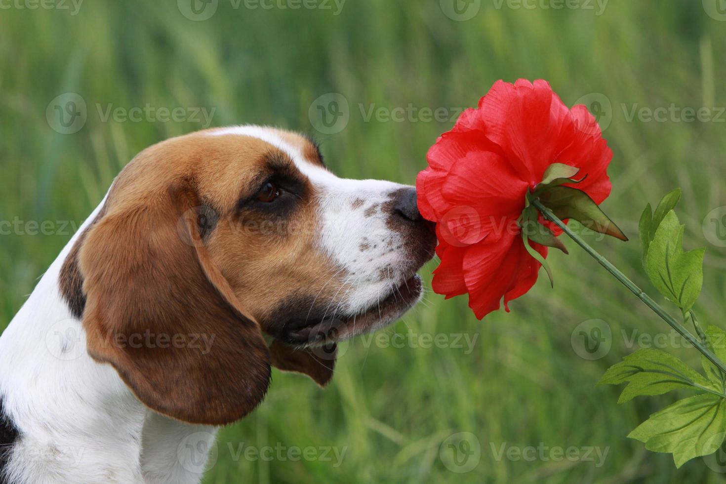 beagle met rode bloem foto