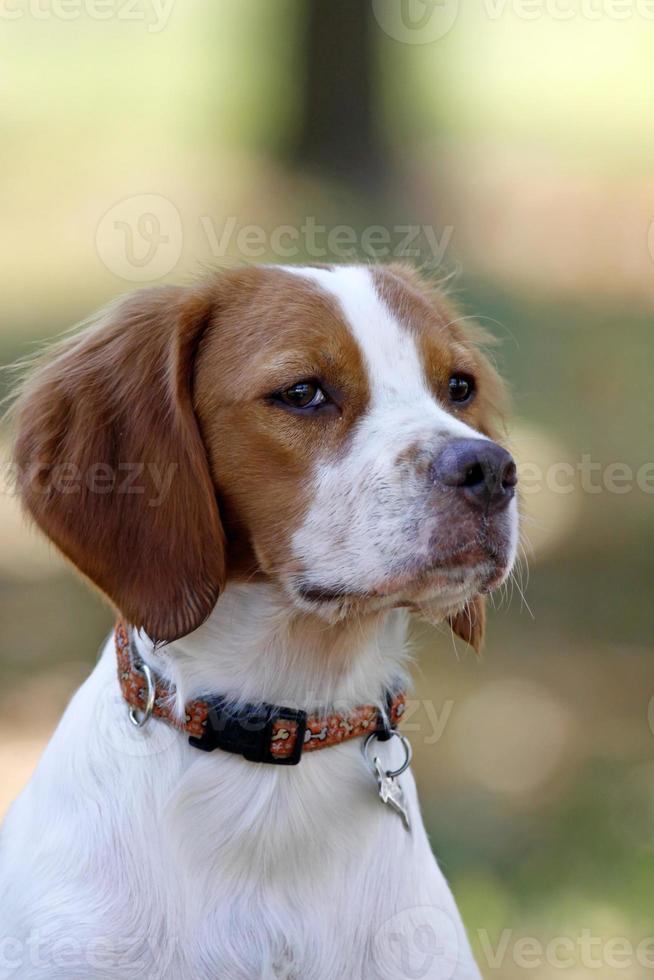 bretagne spaniel, jonge hond, portret foto