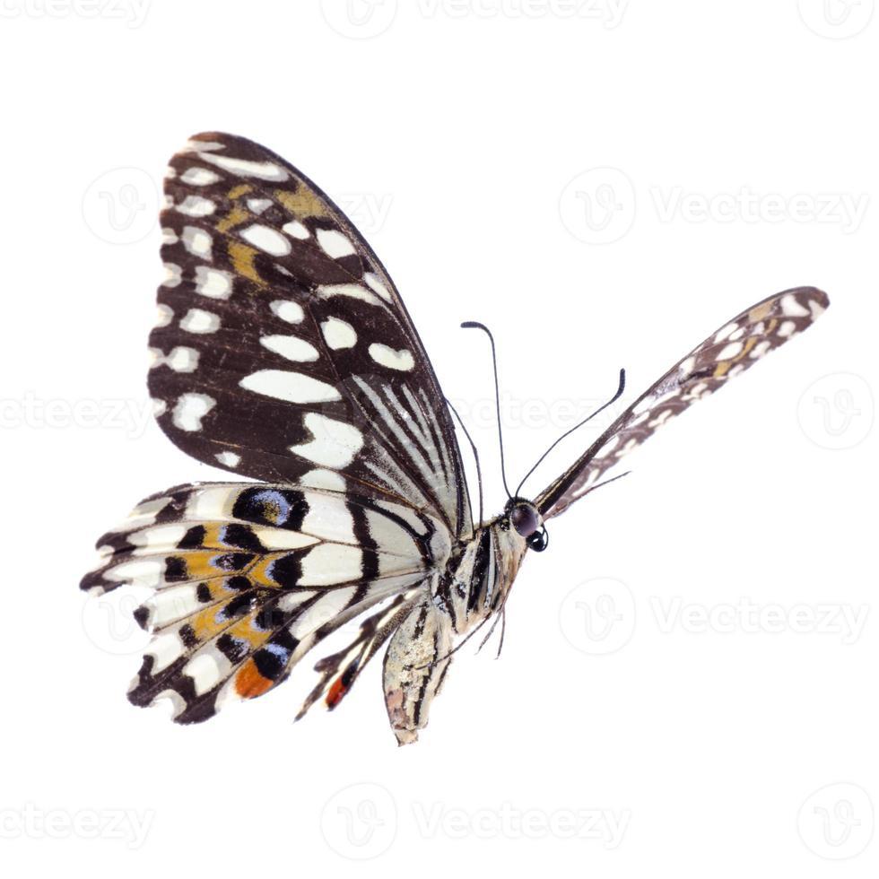 vliegende citrus swallowtail limoenvlinder foto