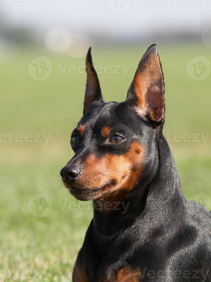 portret van rasechte dwergpinscherhond foto