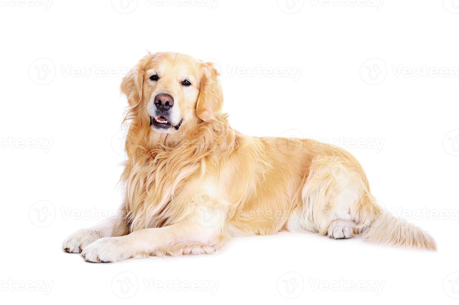 golden retriever op de vloer foto