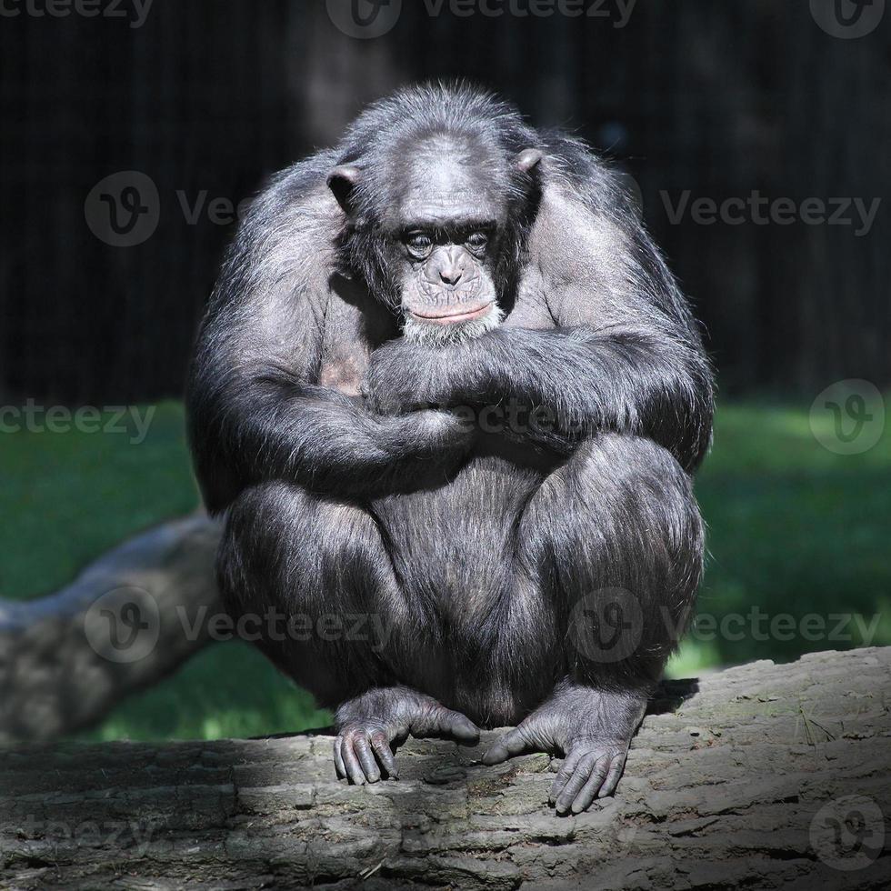 de chimpansee (pantroglodytes). foto