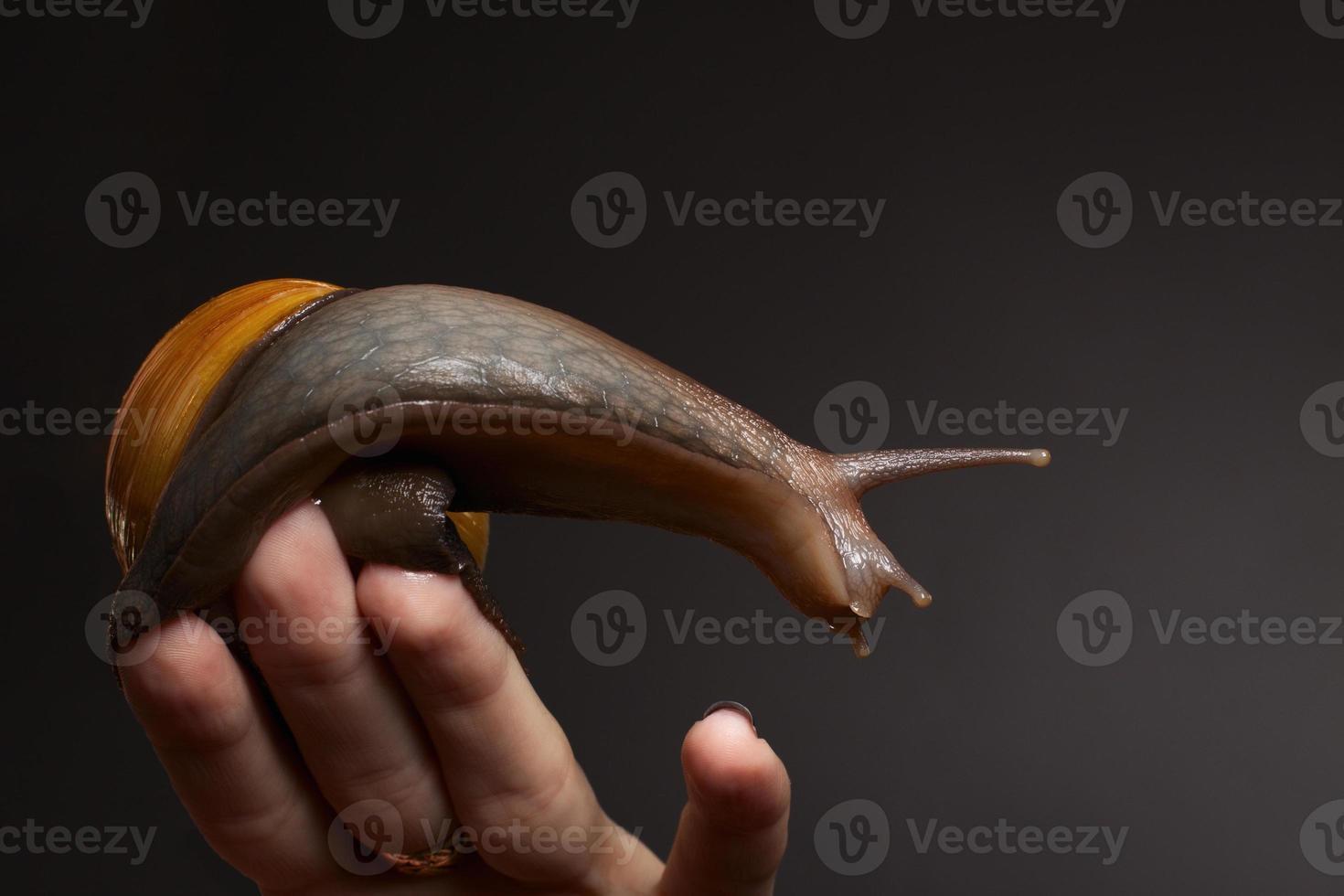 slak bij de hand. achatina fulica foto