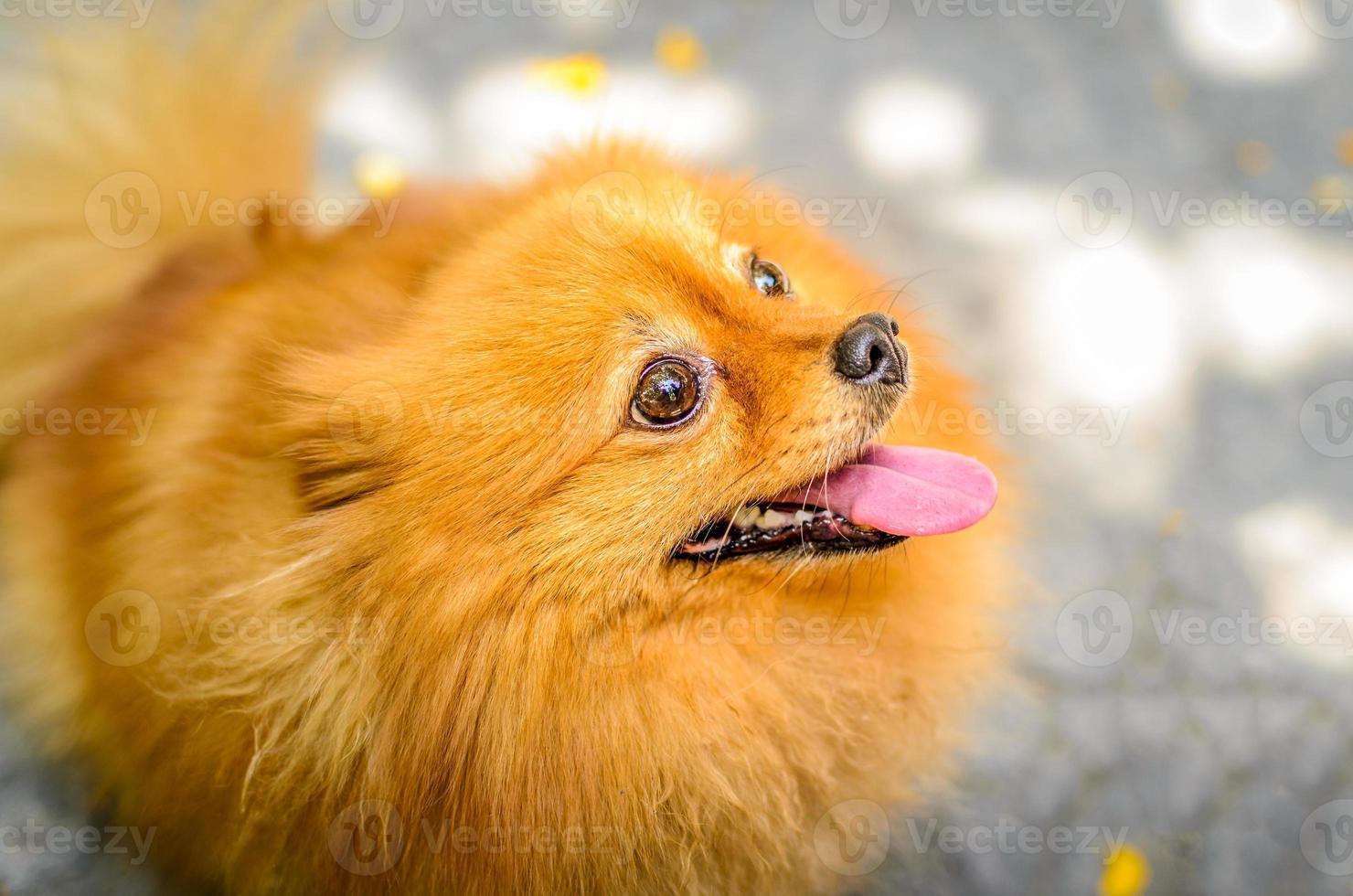 pomeranian hond foto