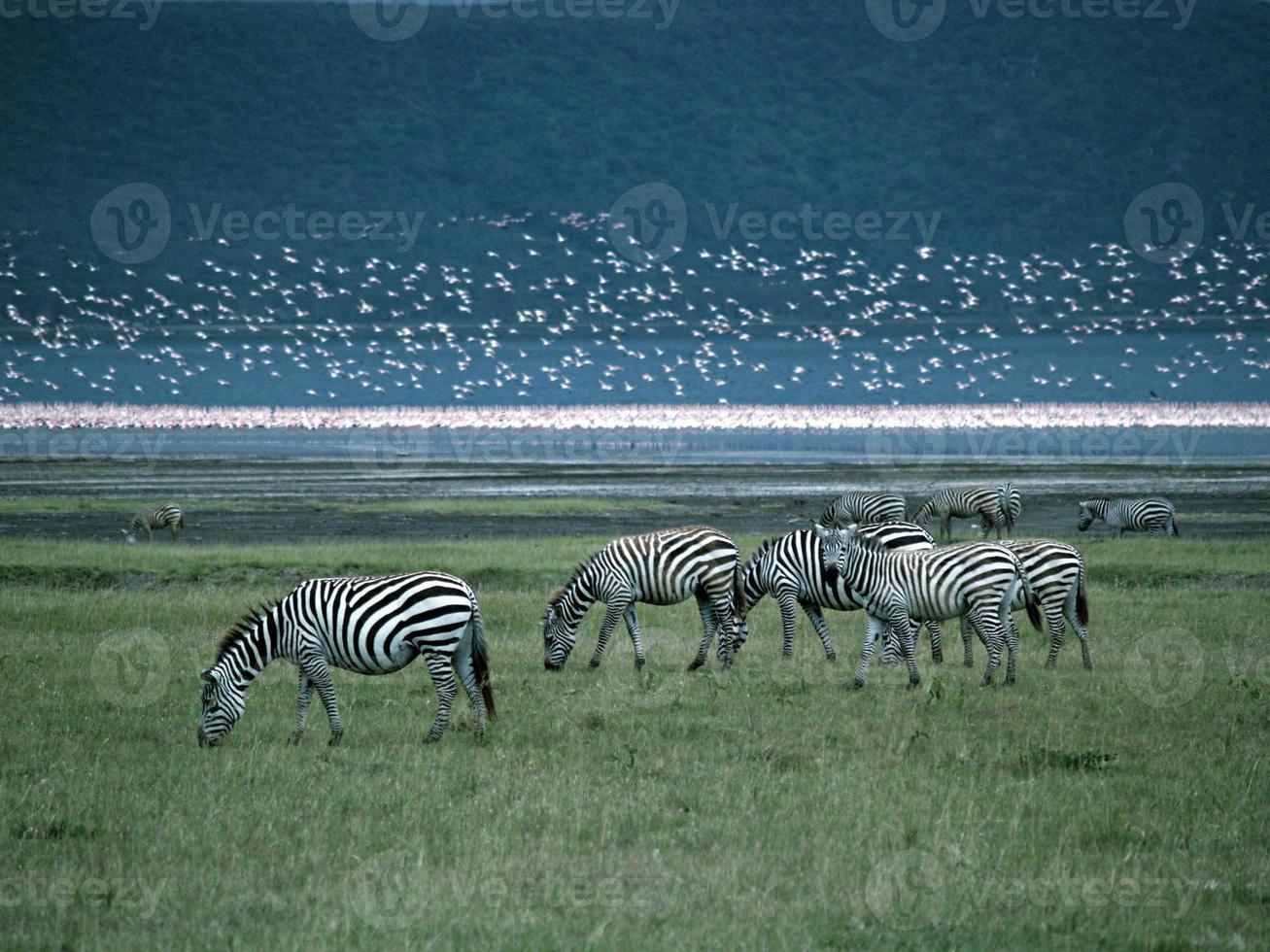 miljoen roze flamingo's met zebra's foto