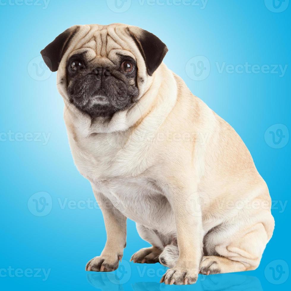 pug hond op een blauwe achtergrond foto
