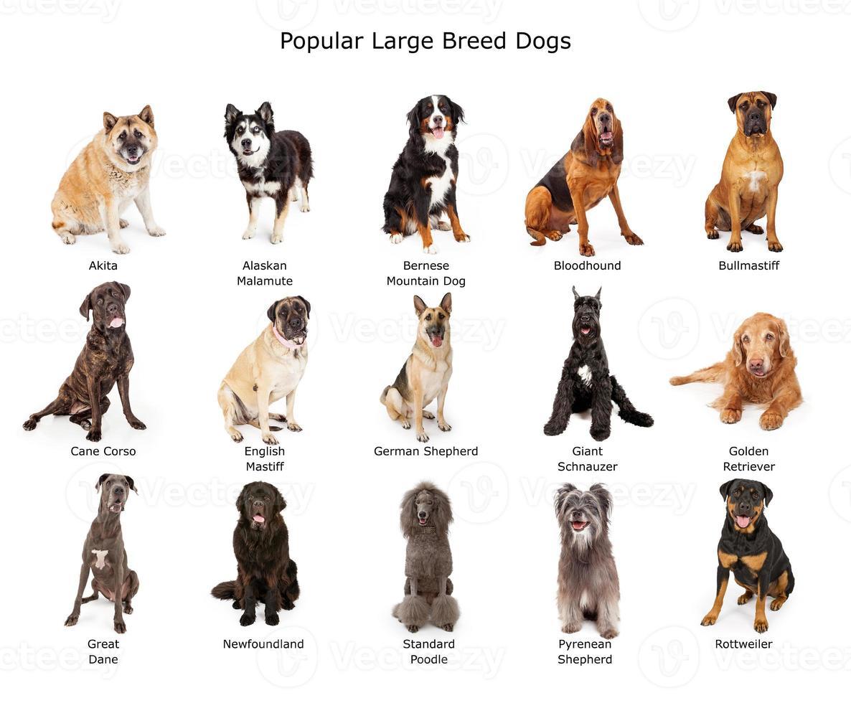 verzameling van populaire honden van grote rassen foto