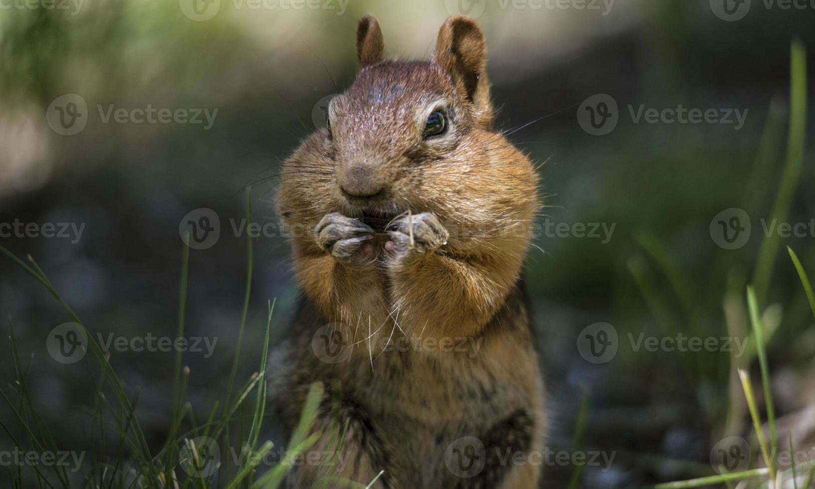 gouden mantel eekhoorn met wangen vol voedsel foto