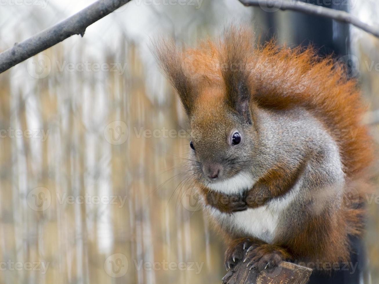 Euraziatische rode eekhoorn (sciurus vulgaris) foto