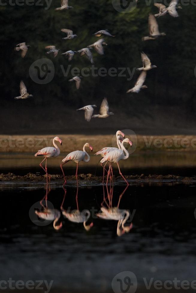 rasp flamingo met duif foto