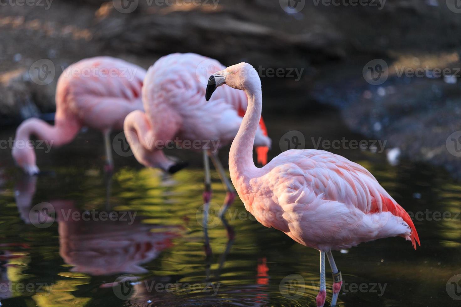 chileense flamingo's, phoenicopterus chilensis foto