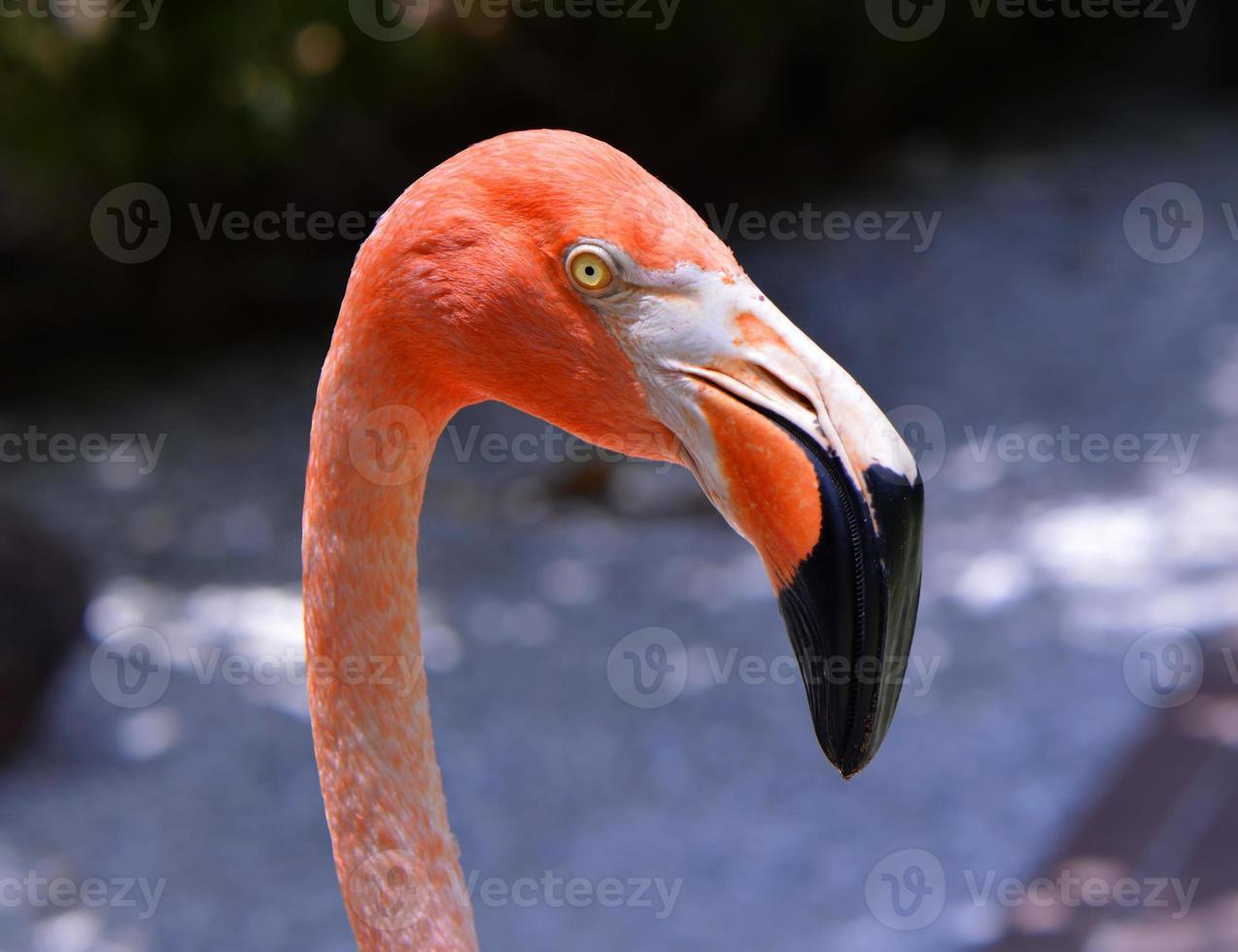 Caribische flamingo's Latijnse naam Phoenicopterus ruber foto