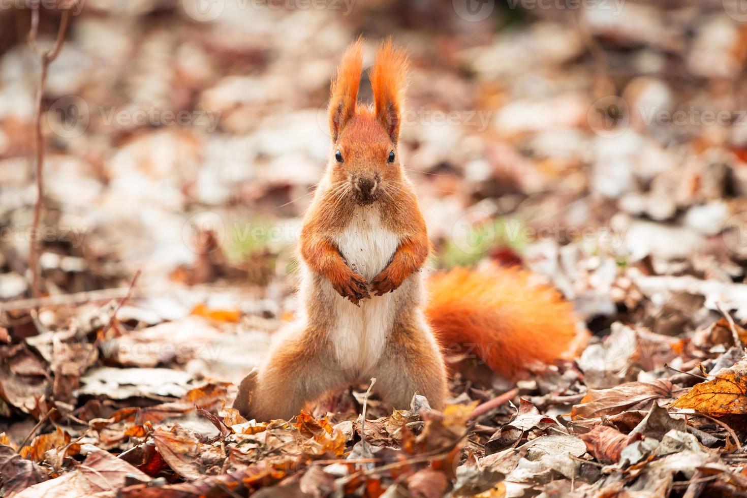 rode eekhoorn in het park foto