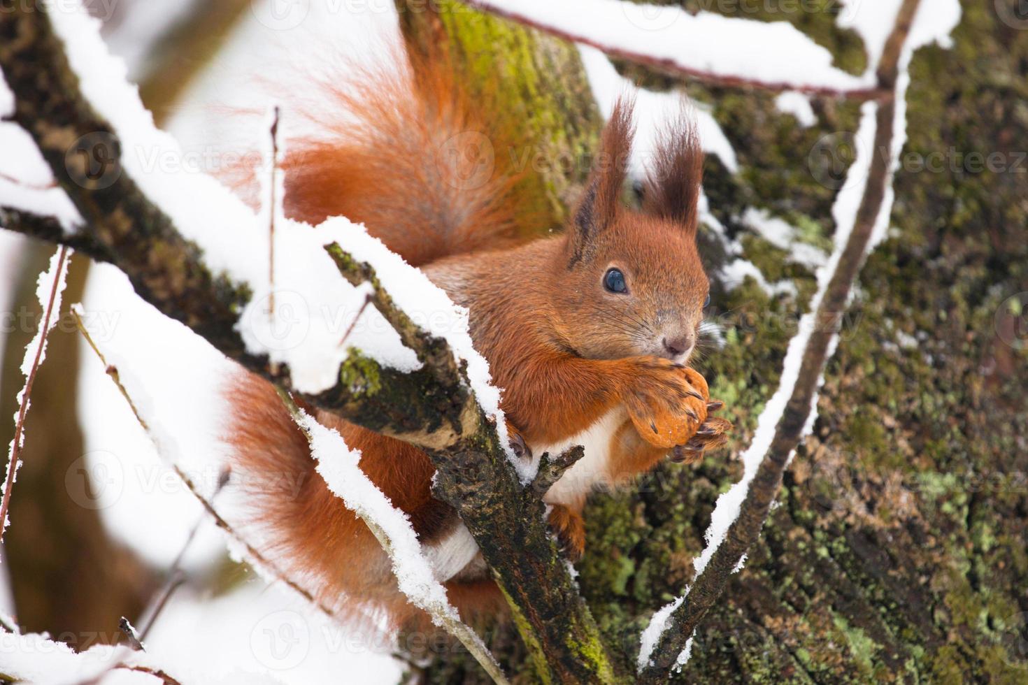 rode eekhoorn zittend op de boom met een moer foto