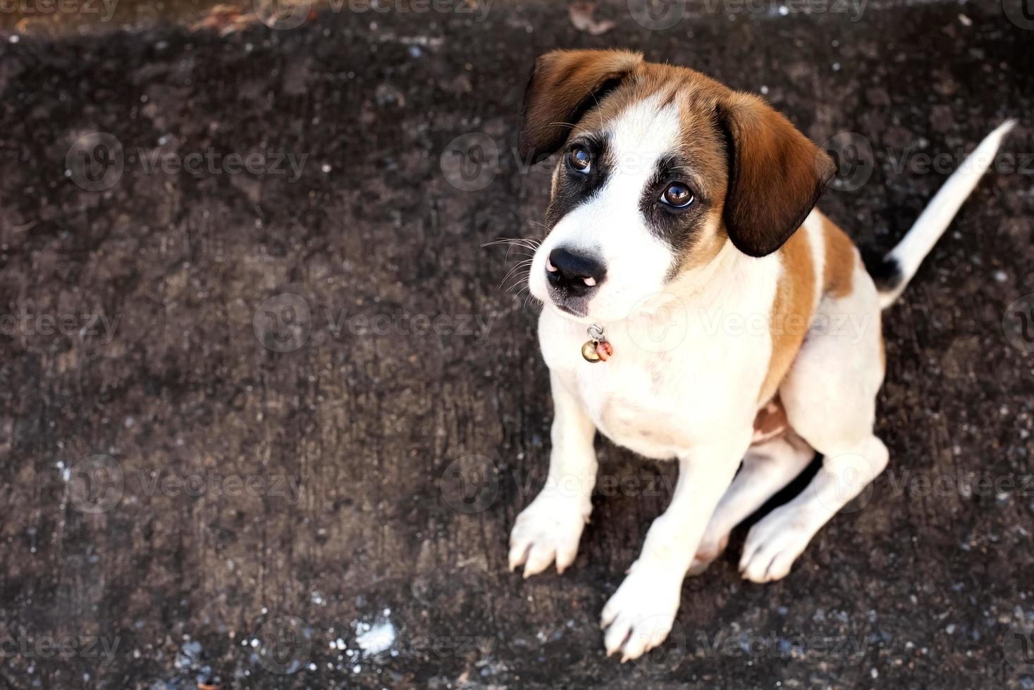 de hond van Thailand, de hond van close-upogen foto