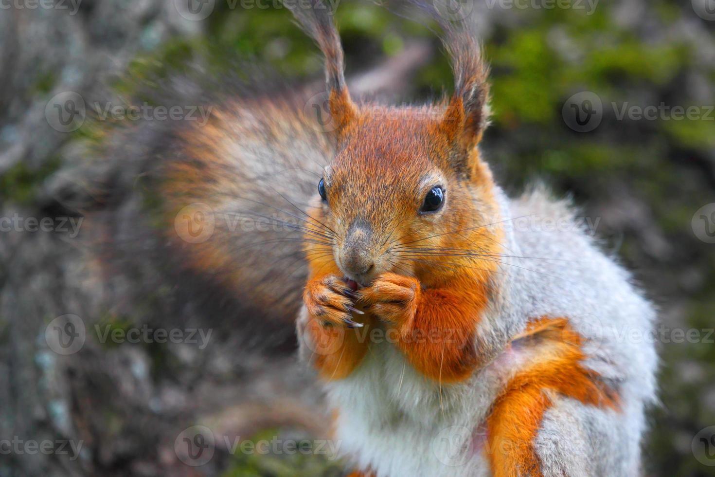 bos wilde eekhoorn met een nootje in kussentjes. foto