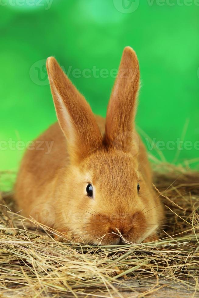jonge rode konijn in hooi op groene achtergrond foto
