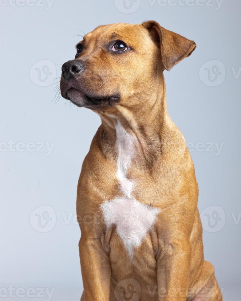 schattige puppy boxer hond geïsoleerd tegen een grijze achtergrond. foto