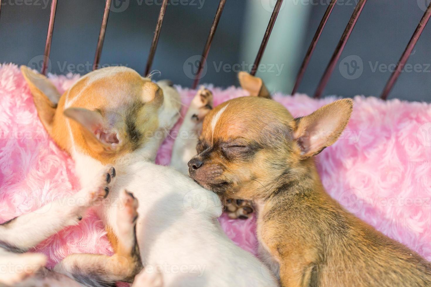 chihuahua slapen foto