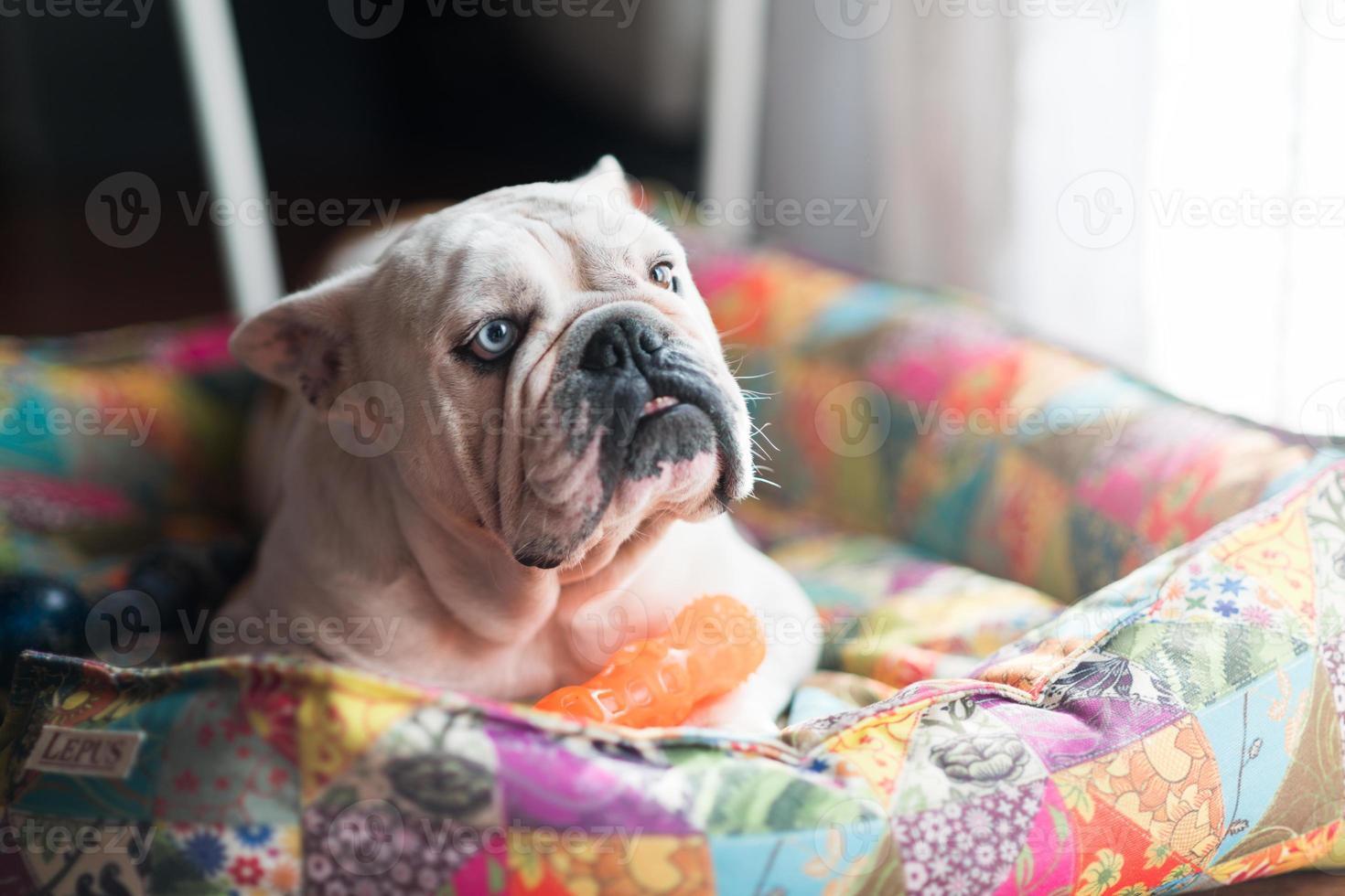 Engelse bulldog op zijn bed foto