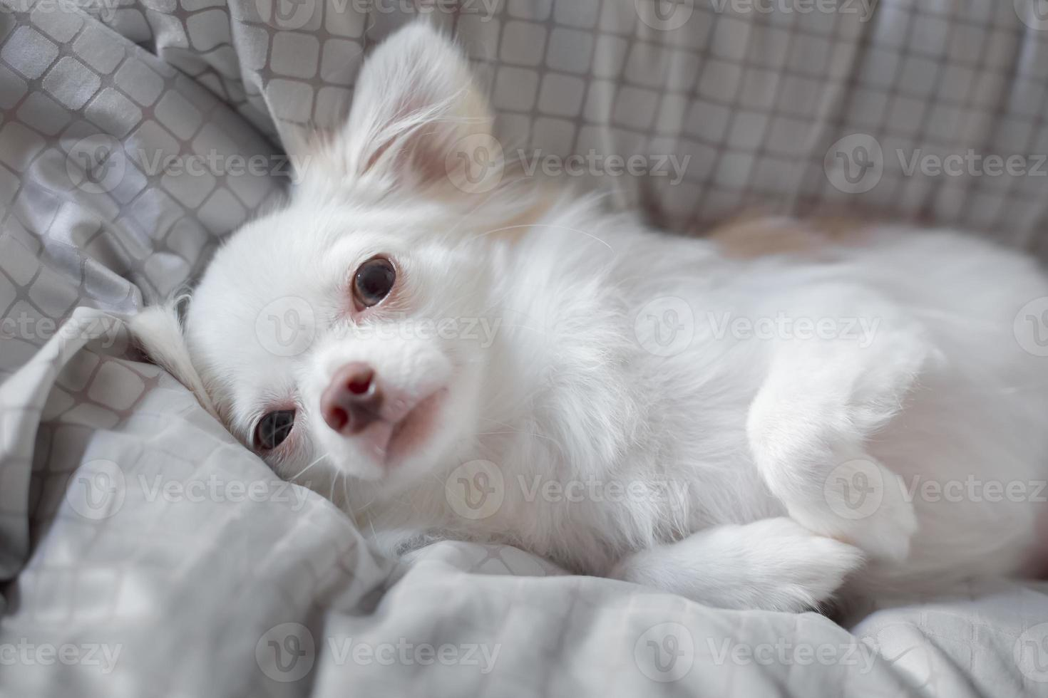 witte chihuahua foto