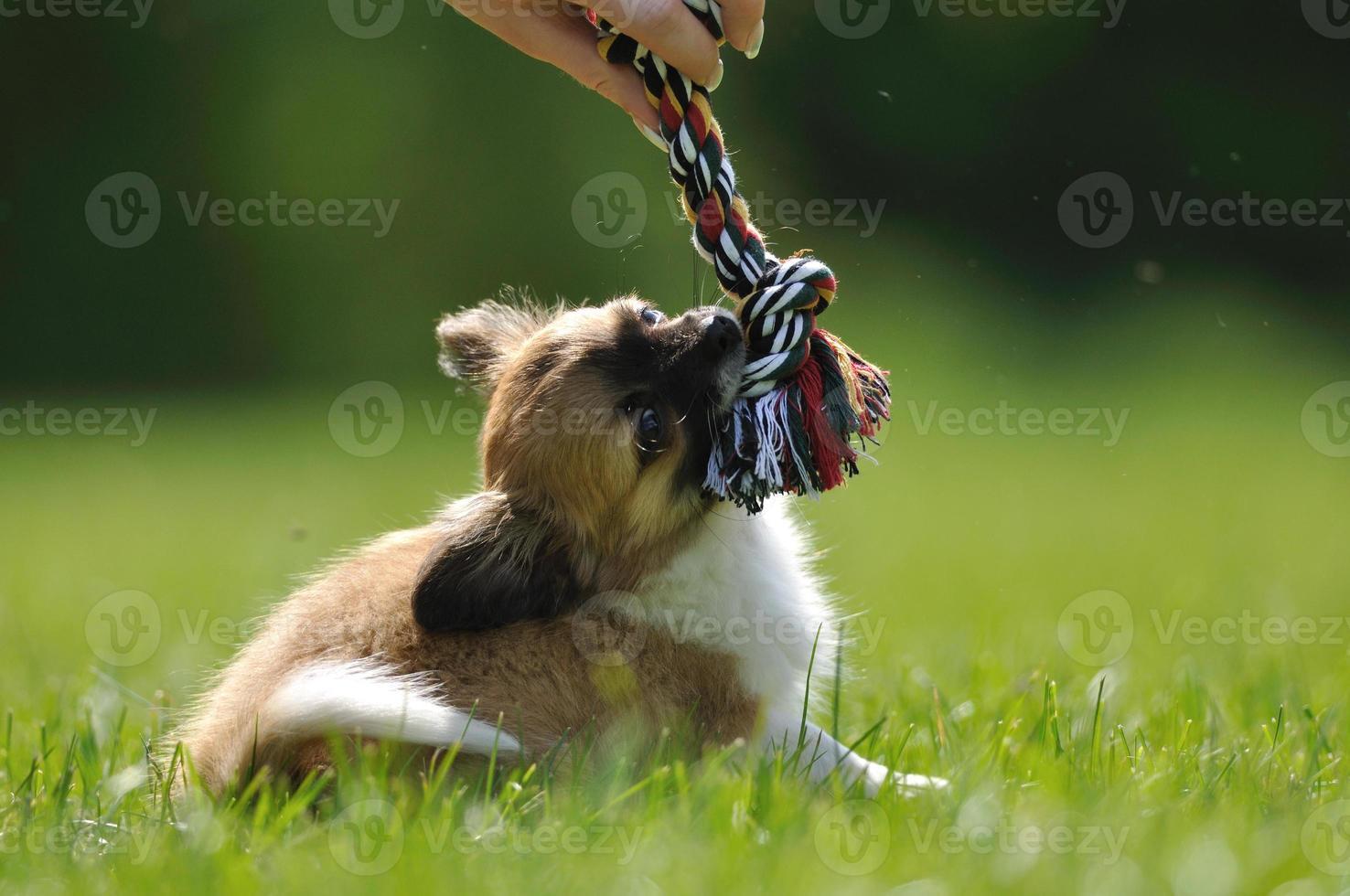 chihuahua puppy spel spelen met speelgoed in de hand van de vrouw foto