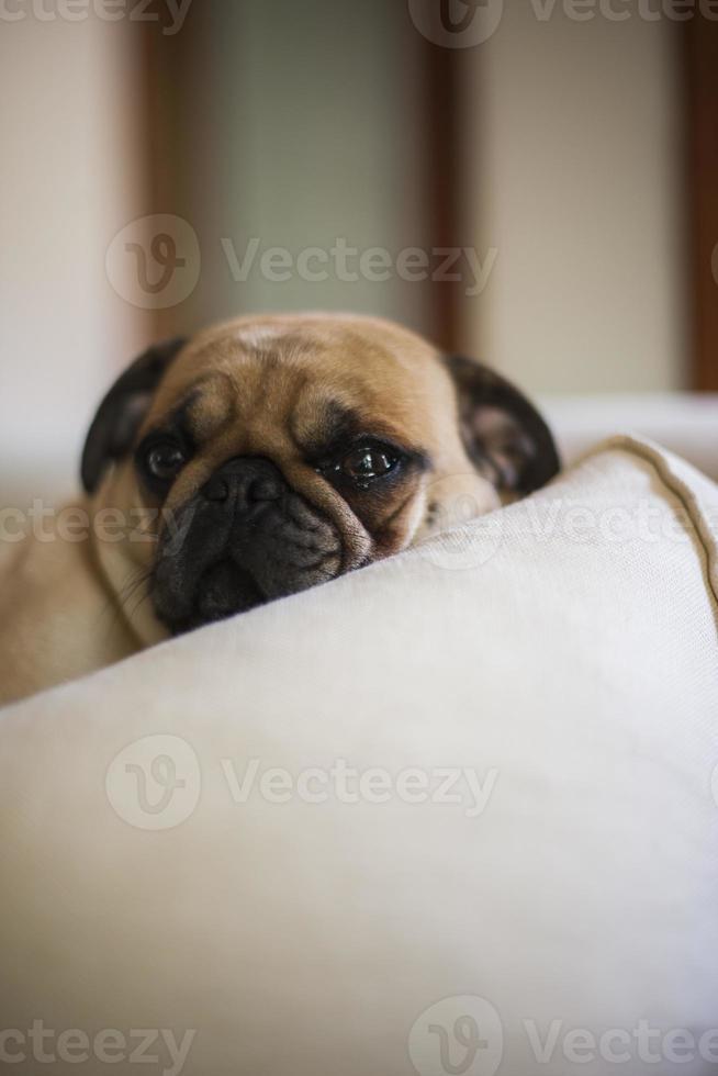 mooie mopshond foto