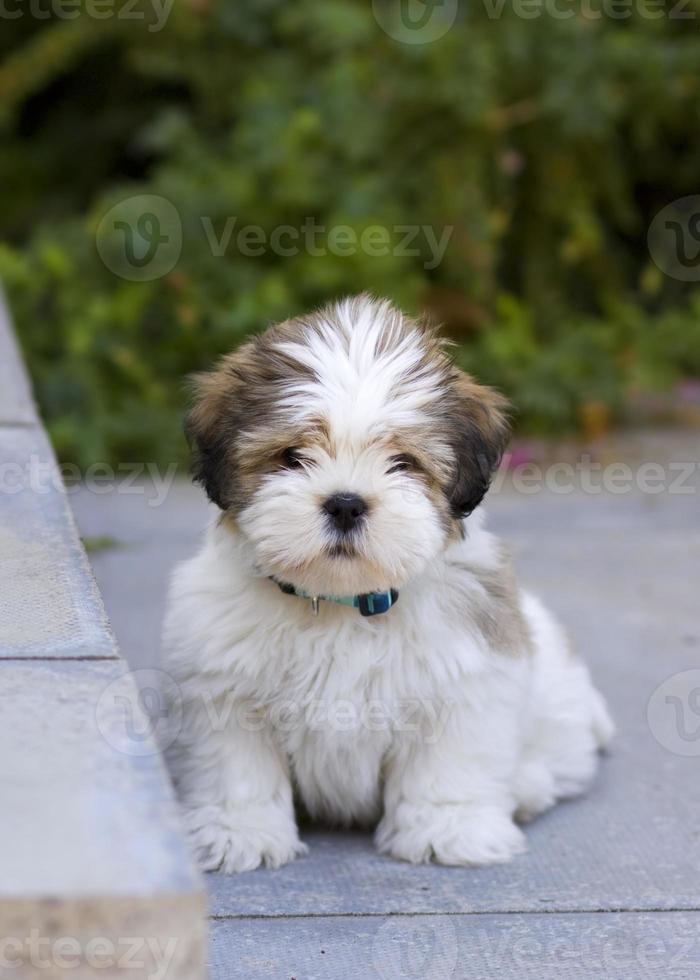 lhasa apso puppy foto