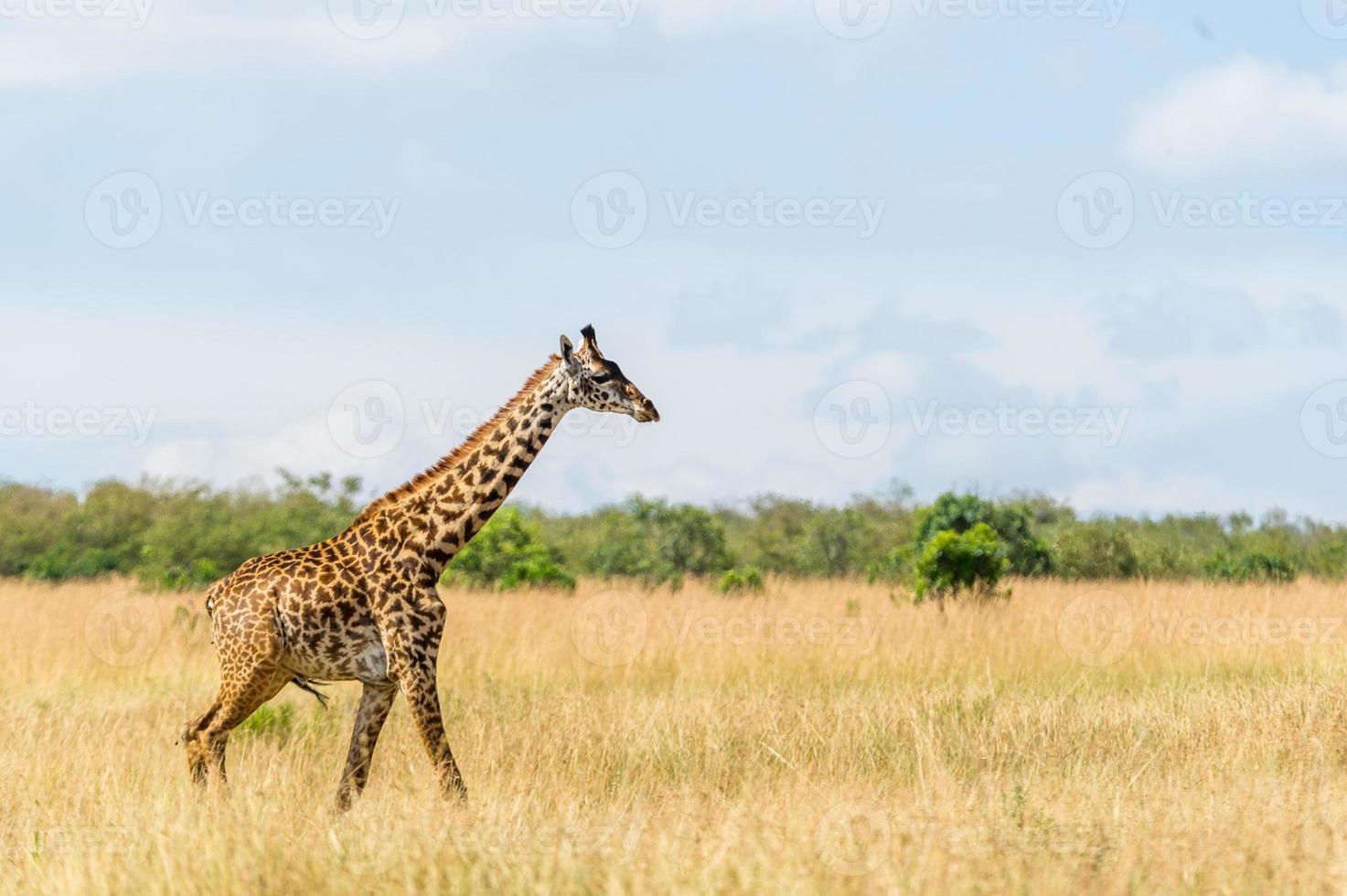 giraf in der masai mara foto